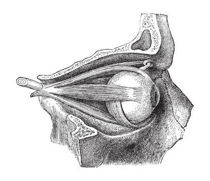 Human eye anatomy / vintage illustration from Meyers Konversations-Lexikon 1897