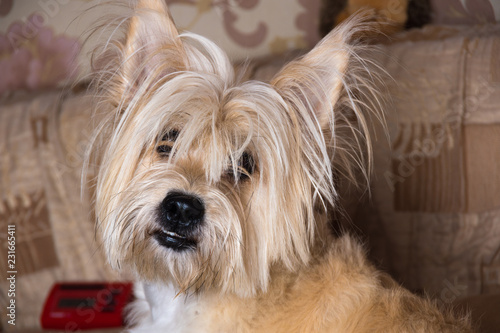 Cairn Terrier Dog Light Brown With Long Hair On The Couch Stock