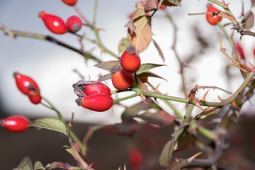 red berries of a dogrose on branches of a bush with prickles