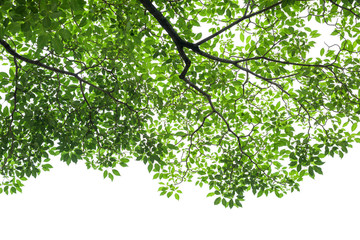 Green tree leaves and branches isolated on white background Wall mural