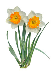 Two narcissus 3