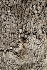 Weathered bark of an old holly oak with small spots of lichen, Mallorca, Spain.