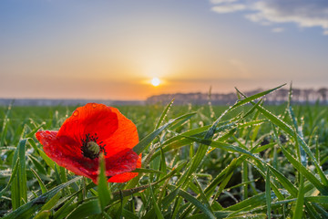 poppy in a field of winter wheat in late autumn at sunset under a clear sky with small clouds