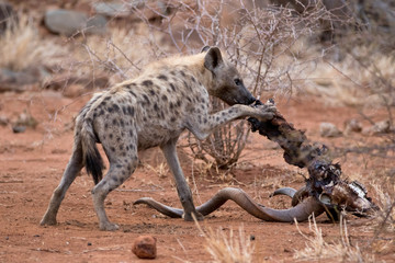Printed roller blinds Hyena spotted hyena