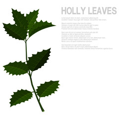Isolate many holly leaves on branch