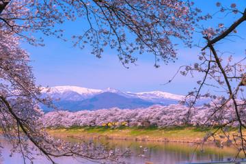 Shiroishigawa-tsutsumi Hitome Senbonzakura, Cherry blossoms with snow-covered Zao Mountain in background along the bank of Shiroishi river in Funaoka Castle Ruin Park, Sendai, Miyagi prefecture, Japan