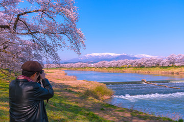 Cameraman taking pictures at Shiroishigawa-tsutsumi Hitome Senbonzakura, Cherry blossoms along the bank of Shiroishi river in Funaoka Castle Ruin Park, Sendai, Miyagi prefecture, Japan