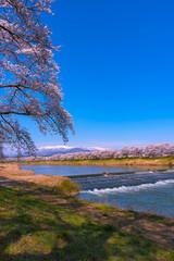 Shiroishigawa-tsutsumi Hitome Senbonzakura at viewing spots Niragamizeki Weir. Cherry blossom with snowcovered Mt.Zao in background along bank of Shiroishi River in Funaoka Castle Park, Miyagi, Japan