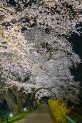 Shiroishigawa-tsutsumi Hitome Senbonzakura light up at night, Cherry blossoms along the bank of Shiroishi river in Funaoka Castle Ruin Park, Sendai, Miyagi prefecture, Japan