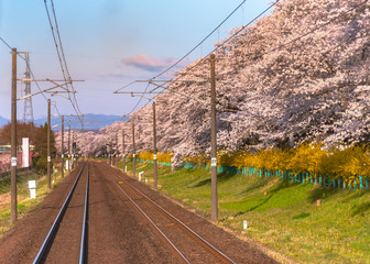 JR Tohoku train railroad track with row of full bloom cherry tree along the Shiroishi river ( Shiroishigawa tsutsumi Hitome Senbonzakura ) with mountain background in Funaoka Castle Park,Miyagi, Japan