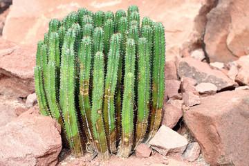 Euphorbia resinifera - Resin spurge