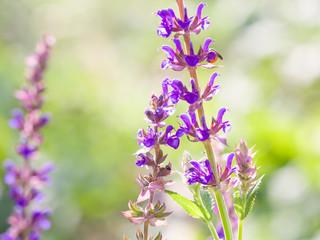 Lavender flowers in full bloom, Closeup