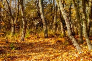 yellow trees and fallen leaves in the autumn forest