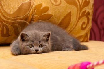 Playful little blue British kitten is hunting for a toy lying on the couch getting ready to jump