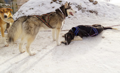 Sled dogs resting before next run