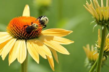Search photos petal - Bumble bee pictures a colori ...