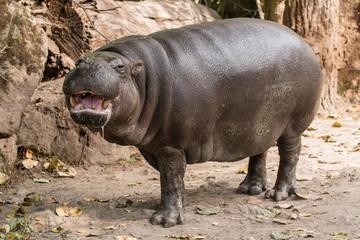 Hippopotamus on land.