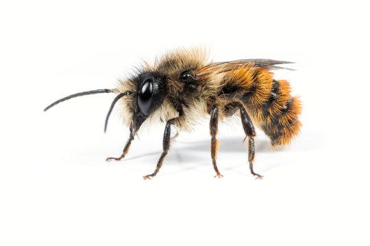 Male Mason Bee