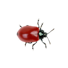 red beetle on a white