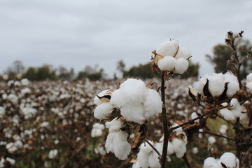 Cotton Field-4