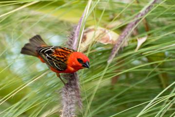 Red cardinal bird in La Reunion island