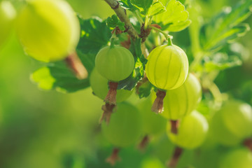Beautiful background with gooseberry berries