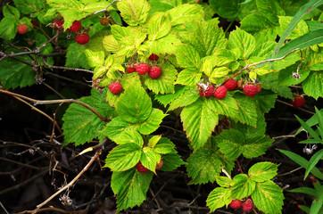 Raspberry bush with bright ripe berries