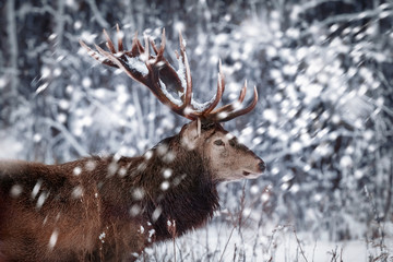 Fototapete - Noble deer male against the background of a beautiful winter snow forest. Artistic winter landscape. Christmas image. Winter wonderland.