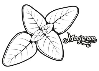 hand drawn marjoram leaves, spicy ingredient, marjoram logo, healthy organic food, spice marjoram on white background, culinary herbs, label, food, natural