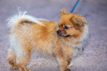 Cute small affenpinscher dog breed on a leash.