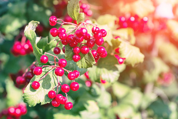 Bunches of viburnum on a Bush
