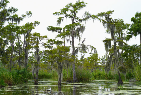 Cypress Trees in a Bayou