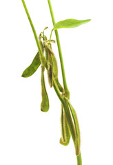 Green soybean pods.