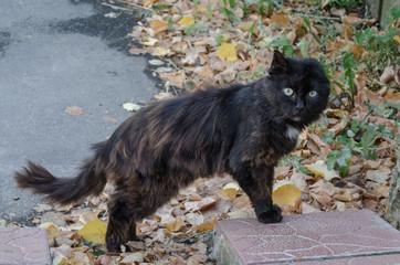 Dark street cat with one ear