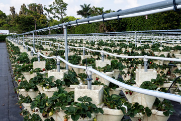 Hydroponic U-Pick Strawberries