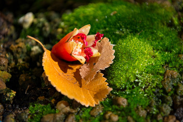 Close-up detail of a Fallen Pomegranate Flower and Elm Leaves on Bonsai Akadama Soil and Moss