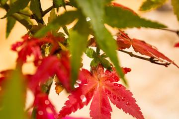 Close-up detail of Japanese Maple Leaves - Acer Palmatum Deshojo Bonsai Tree