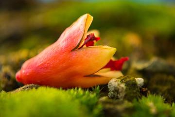Close-up detail of a Fallen Pomegranate Flower on Bonsai Akadama Soil and Moss
