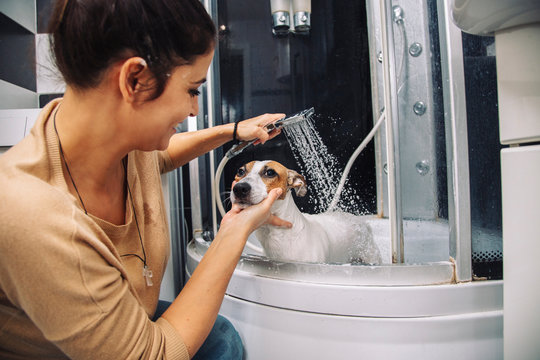 Jack russell terrier dog having a bath