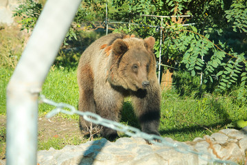 Brown bear sits in zoo on wooden floor.