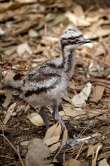 this is a side view of aemu chick
