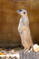 Portrait of a meerkat (suricata suricatta) standing up