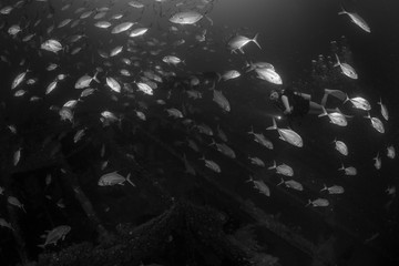 A female diver exploring the Shipwreck with schooling of jack fish