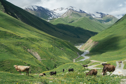 Cows on the Caucasus Mountains.