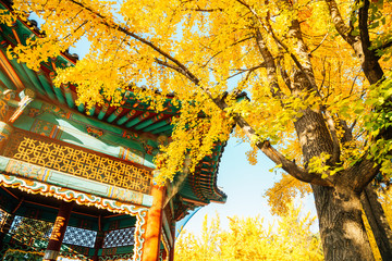 Fototapeten Honig Autumn ginkgo trees and Korean traditional pavilion at Children's Grand Park in Seoul, Korea