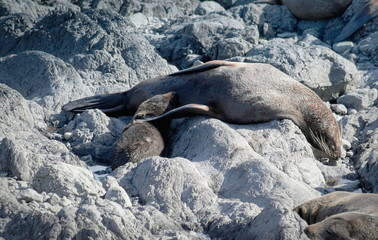 A mother fur seal feeding her pup on the rocky shores of Cape Palliser, New Zealand.