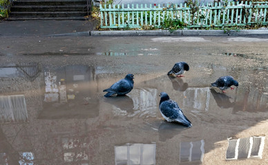 pigeons bathe in a puddle