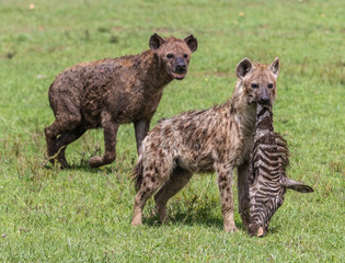Fotobehang Hyena hyenas eating zebra