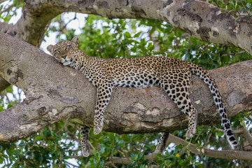 Foto op Canvas Luipaard sleeping leopard