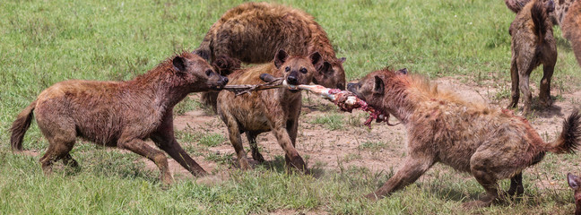 Zelfklevend Fotobehang Hyena hyenas fighting over zebra leg